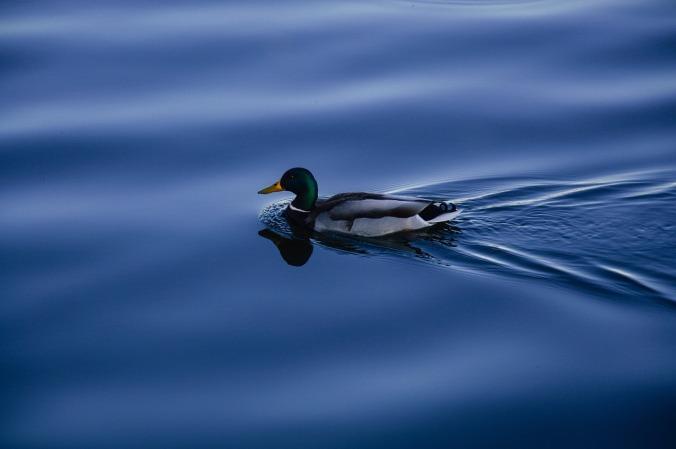 duck-931989_1280