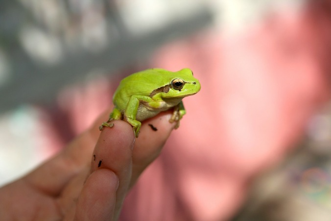 frog-618927_1280