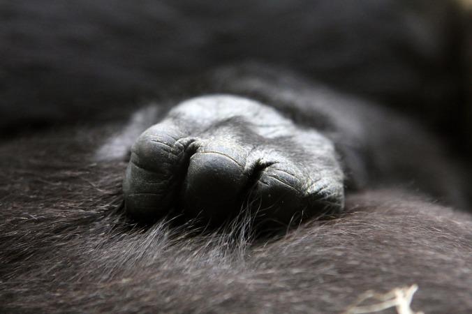 gorilla-622056_1280