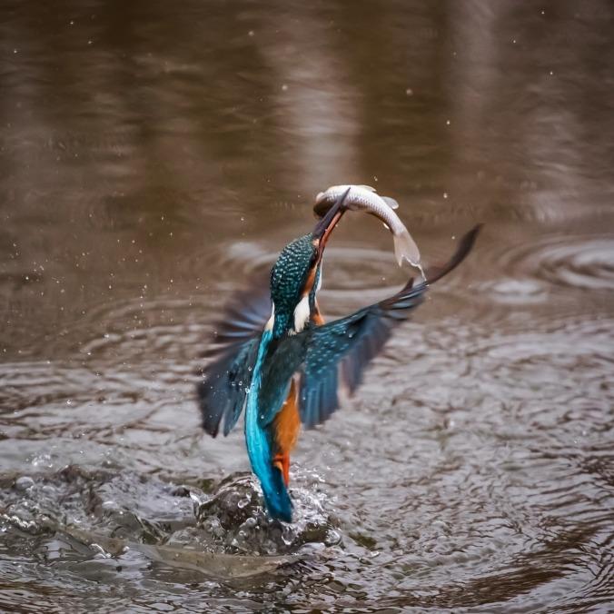 kingfisher-1068480_1280
