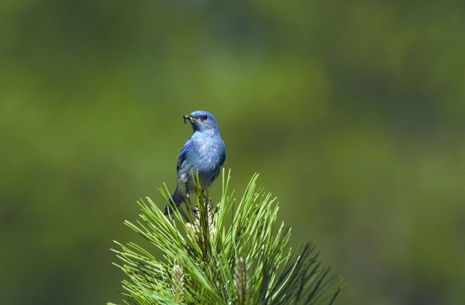 mountain-bluebird-541378_1280