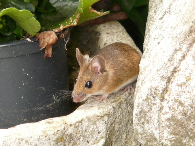 wood-mouse-8175_1280