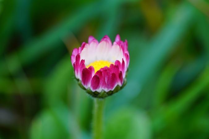 daisy-1317232_1280