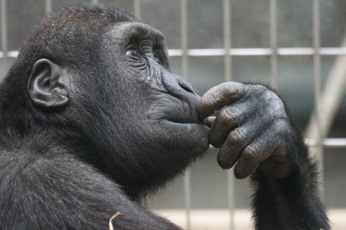 primate-1019101_1280