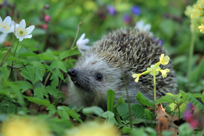 hedgehog-548335_1280