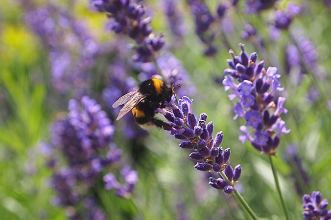 lavender-850862_1280