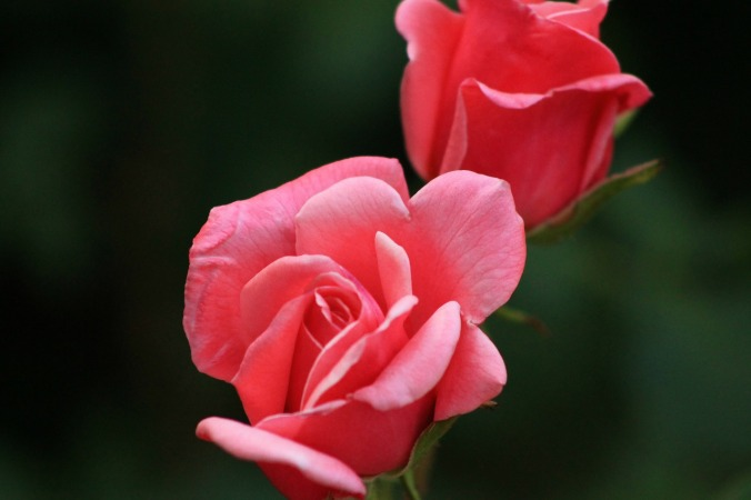 rose-140853_1280