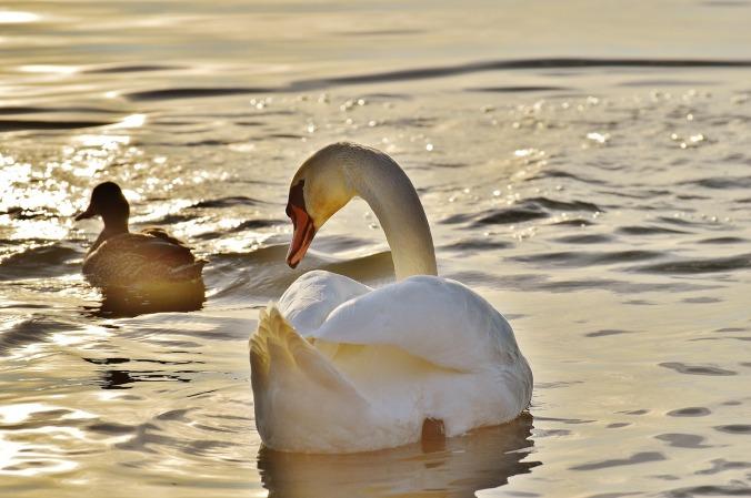 swan-1114270_1280