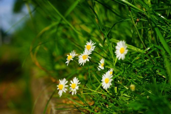 daisy-1365856_1280