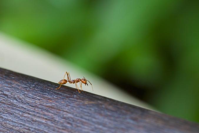 ant-1182282_1280