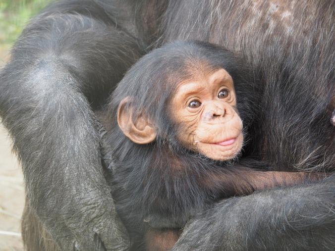 chimpanzee-830535_1280