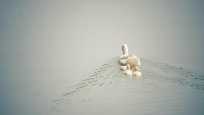 duck-1536482_1280