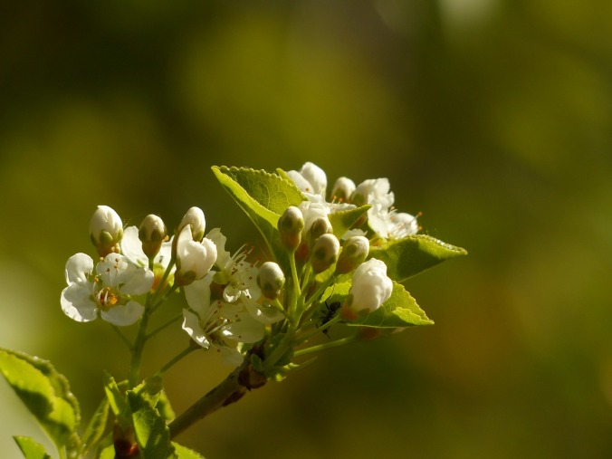 apple-blossom-357691_1280