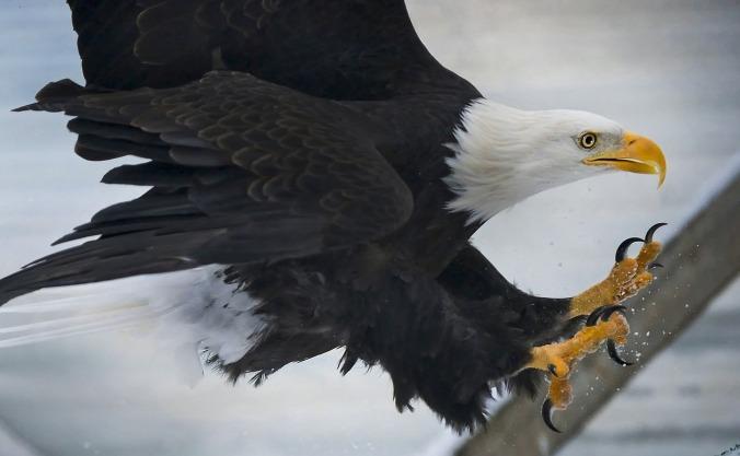 bald-eagle-977811_1280