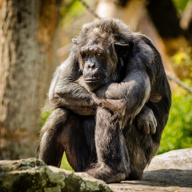 chimpanzee-978809_1280