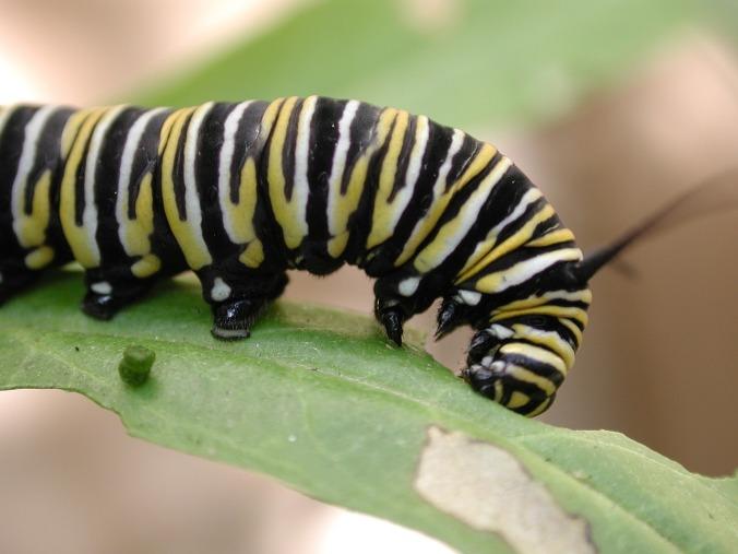 caterpillar-838721_1280