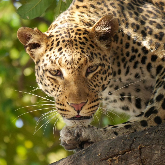 leopard-226136_1280
