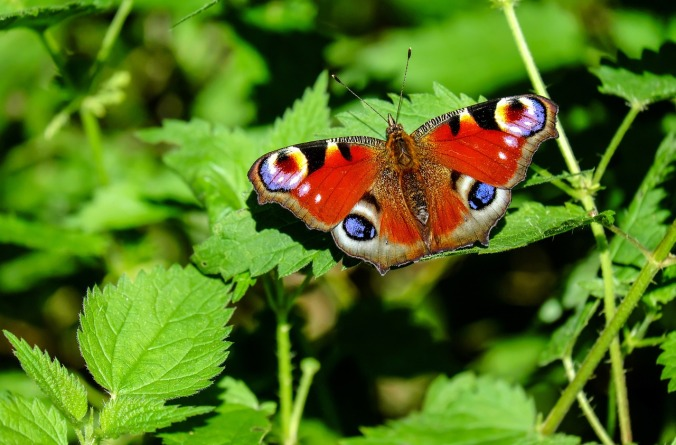 peacock-butterfly-1655724_1280