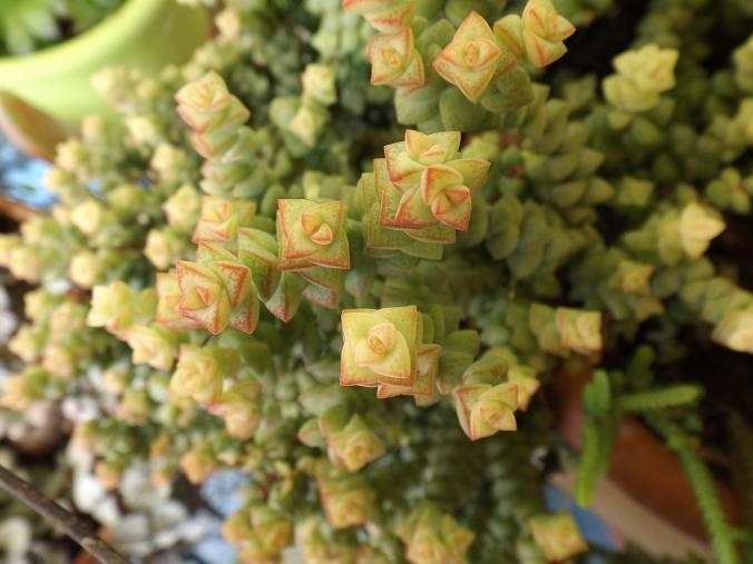 succulent-plant-1434795_1280