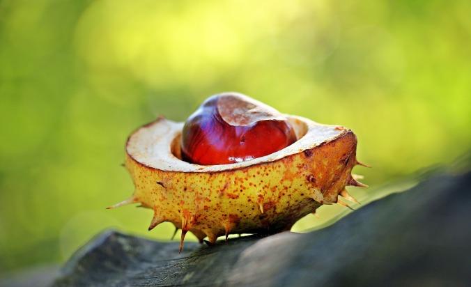 chestnut-1698730_1280