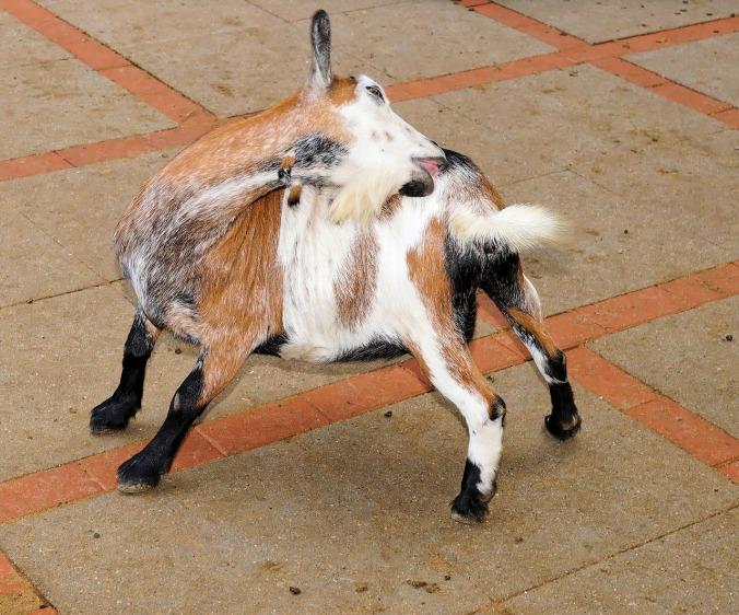 goat-1545124_1280