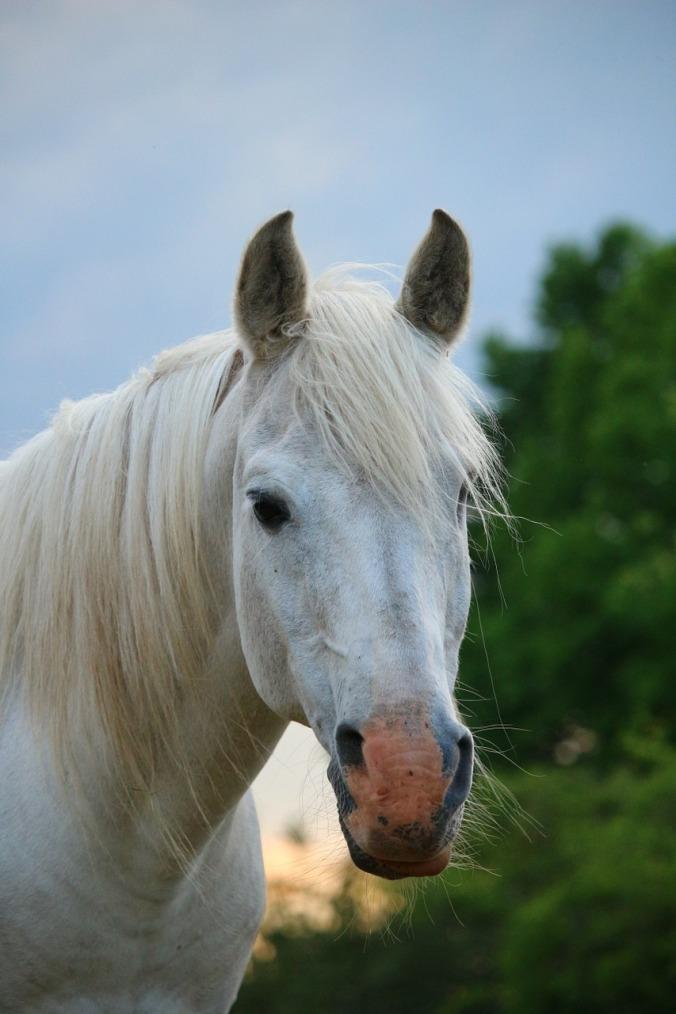 horse-1409372_1280