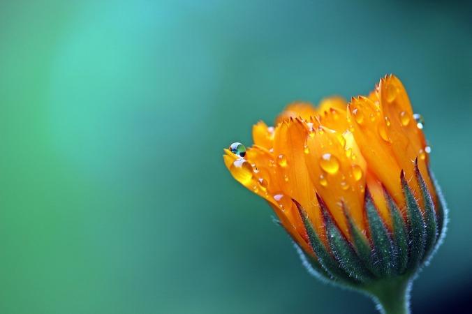 marigold-1568646_1280