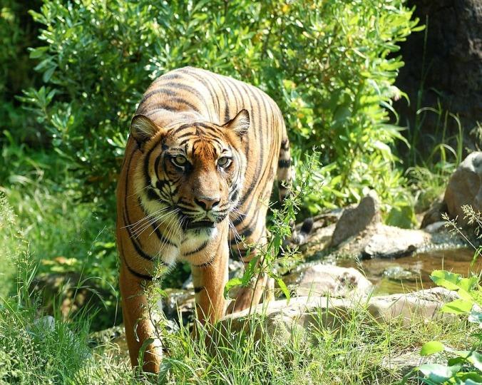 tiger-8057_960_720