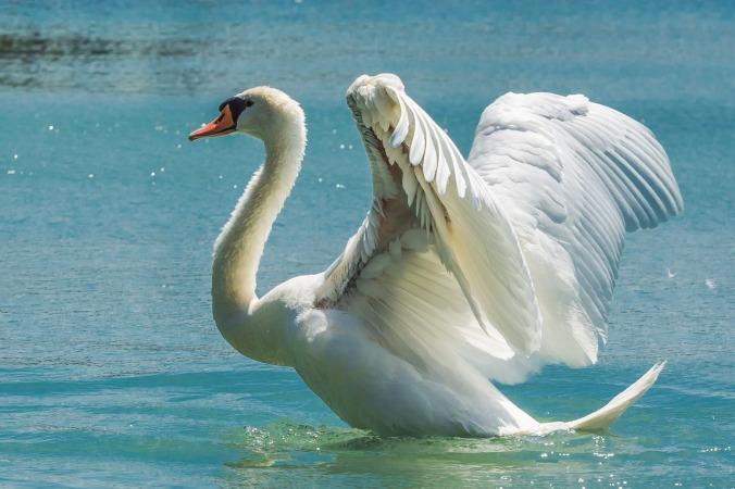 swan-369090_1280