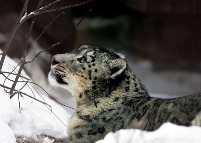 snow-leopard-620532_1280