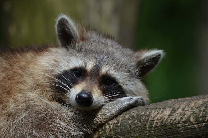 raccoon-365366_1280