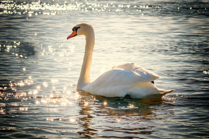 swan-2077219_1280