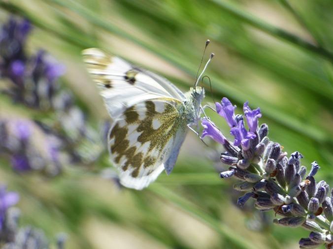 butterfly-2402250_1920